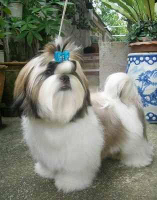 Pictures of Cute Shih Tzu Puppies