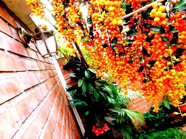 Frutos de Duranta o Grano de Oro