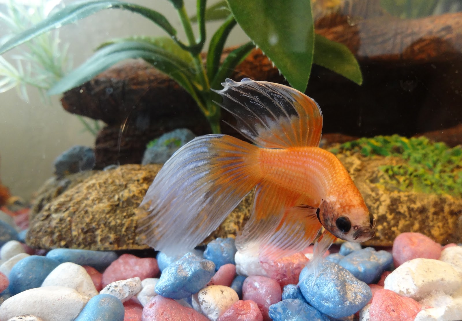 Betta fish awareness day betta fish care faq for Fish that can live with betta fish