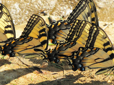 "Butterflies ""Puddling"" - sipping Minerals from Edge of Stream"