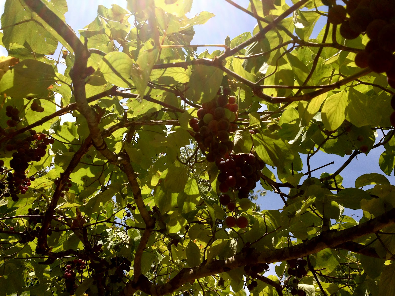 how to make homemade grape jelly from fresh grapes