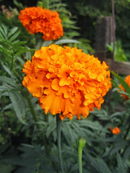 Tall Marigold