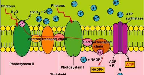 describe photosynthesis Chemical reaction on our planet what do plants need for photosynthesis water carbon dioxide light chlorophyll what is the equation for the chemical reaction of photosynthesis describe photosynthesis the process of changing light energy to chemical energy energy stored as sugar occurs in plants and some algae.