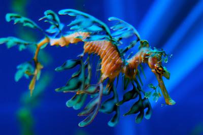 Rồng biển hình lá, động vật kì lạ