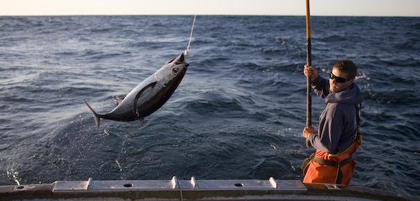 Câu cá ngừ bách phát bách trúng