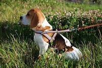 Adestramento de filhotes: como fazer seu cão andar com coleira?