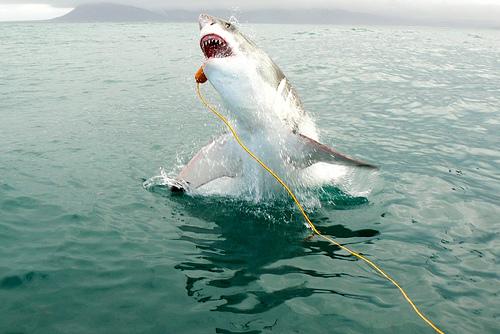 Jumping Shark Wallpaper Hd