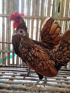 Jual ayam hias batik kanada