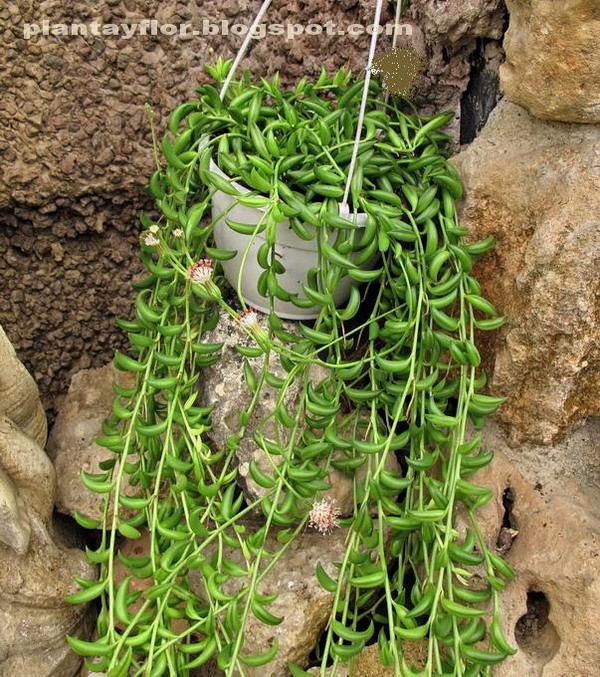 Plantas y flores senecio radicans - Plantas crasas colgantes ...
