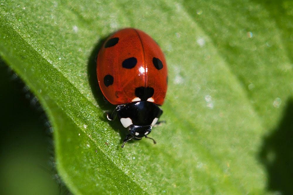 7 Spot Ladybird - Loughton Valley Park, Milton Keynes