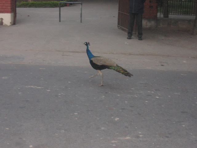 Peacock in IIT Kanpur campus