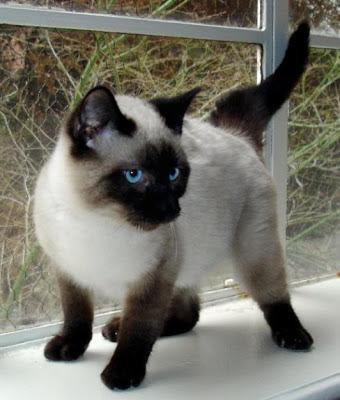 Mengenal Jenis kucing Siam