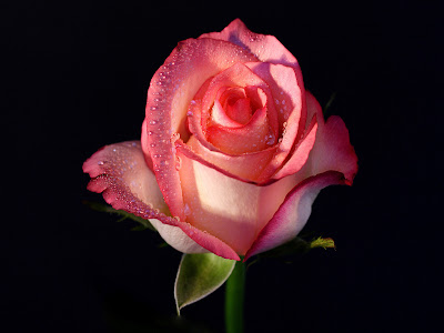 Colorful Pink White Rose Wallpapers