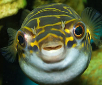 funny pufferfish