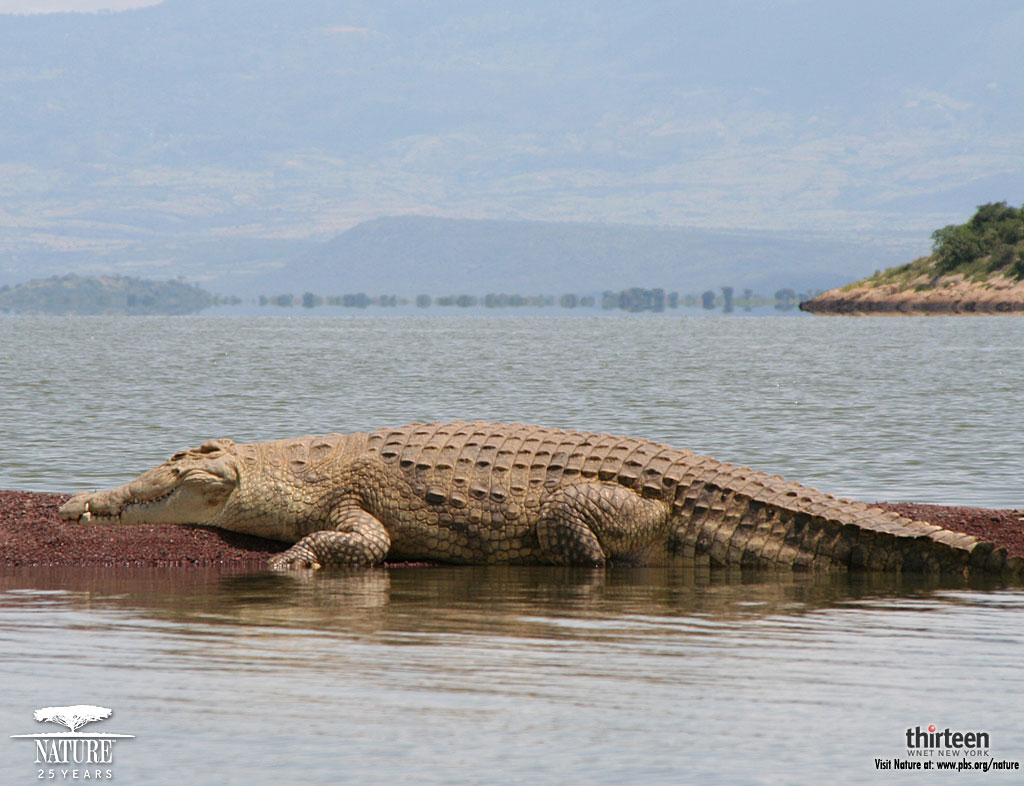 HD Desktop Wallpaper: crocodile wallpaper