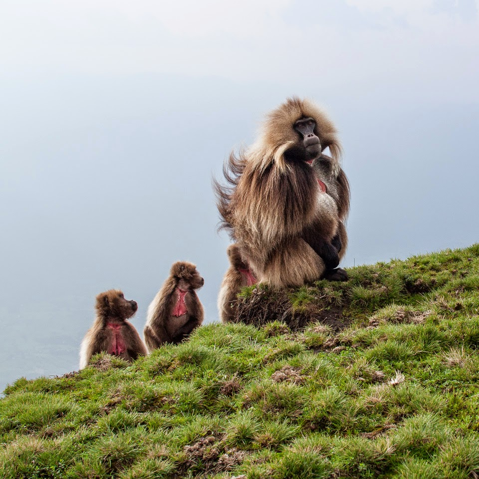 gelada baboons in the Semien Mountains