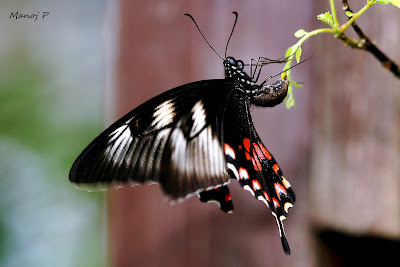 The romulus form of Common Mormon female mimicking Crimson Rose Butterfly Laying Eggs