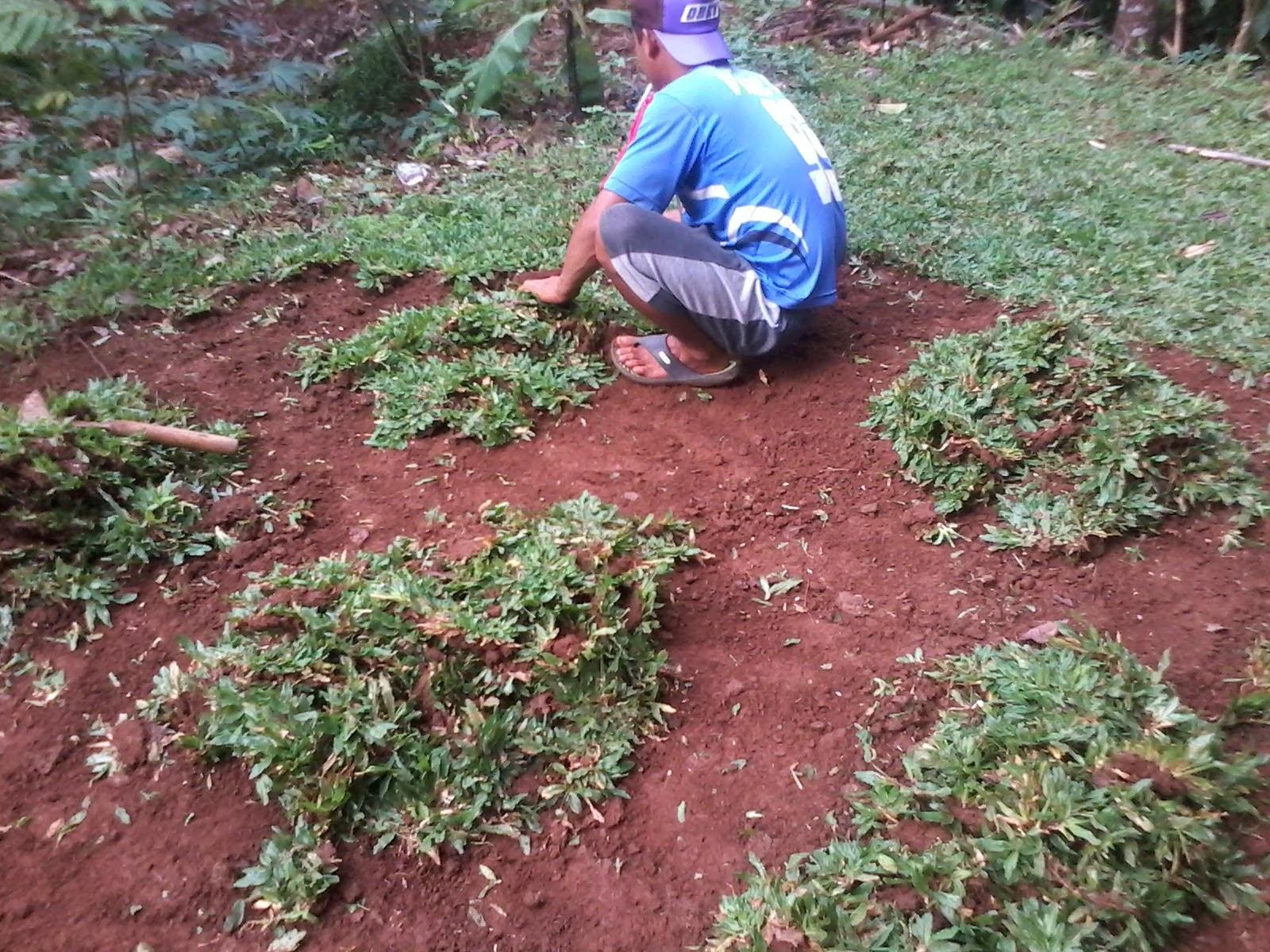 Penjual rumput gajah mini sekaligus jasa penanaman | menyediakan media tanam untuk rumput dan tanaman hias untuk taman