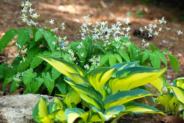 Chartreuse hosta with white and yellow epimedium (Epimedium stellulatum, long leaf form).