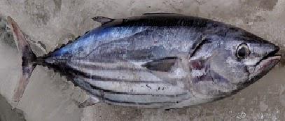 Definisi dari ikan pelagis ialah ikan yang hidupnya bergerombol atau berkelompok yang hi Begini Ikan Pelagis Jenis dan Ciri Cirinya