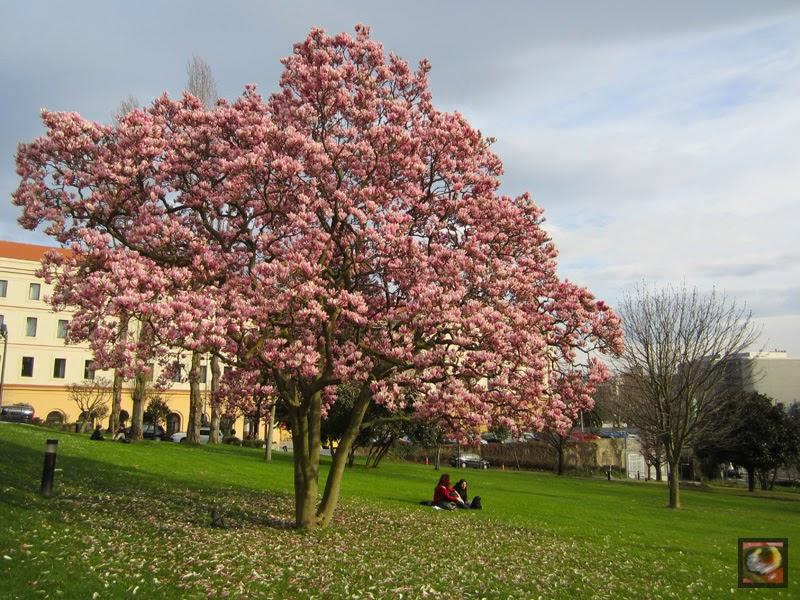 Naturaleza vegetal magnolio magnolia soulangeana de la for Arboles de jardin de hoja caduca