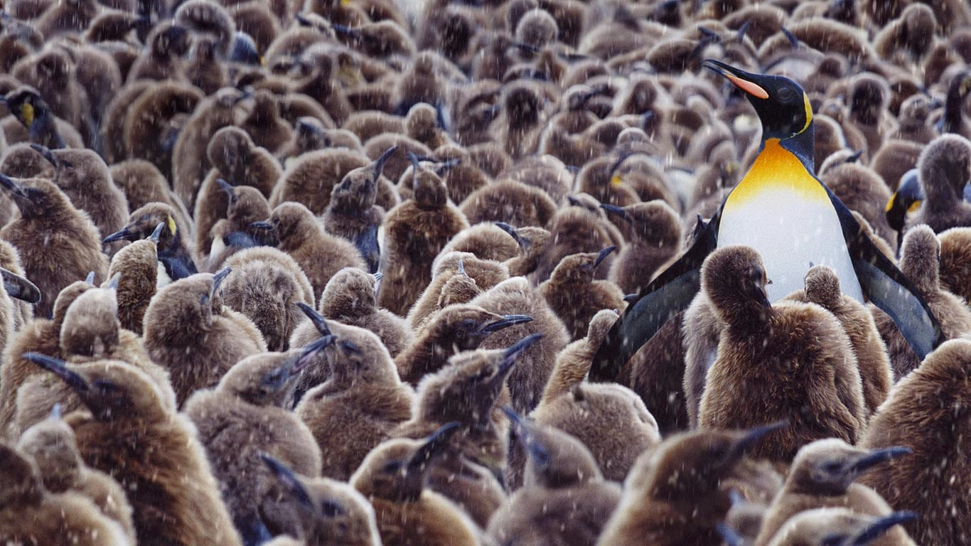 King penguin surrounded by chicks, South Georgia (© Steve Bloom Images/Alamy) 43