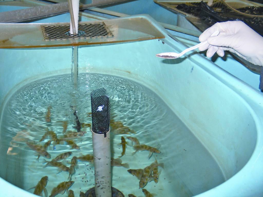 Asesor a trucha y tilapia invierta for Como cultivar tilapia en estanques