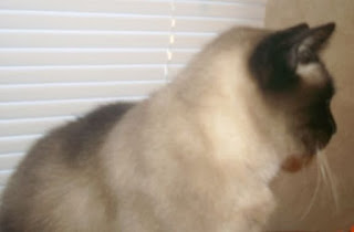 Siamese cat, senior cat, family pet,