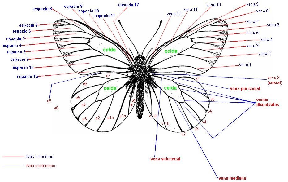 Hermosa La Anatomía De Una Mariposa Cresta - Anatomía de Las ...