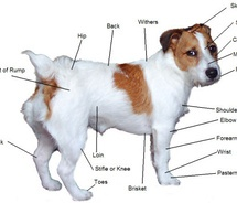 Veterinary biology and animal science anatomy of dog everyone recognizes the dogs tail or its absence its usually wagging at you ccuart Image collections