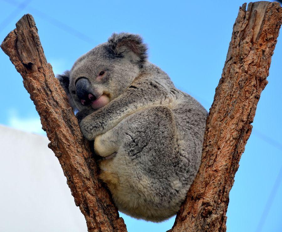 20. koala by Madan Neelagiri