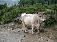 Vaques davant les granges de Palau