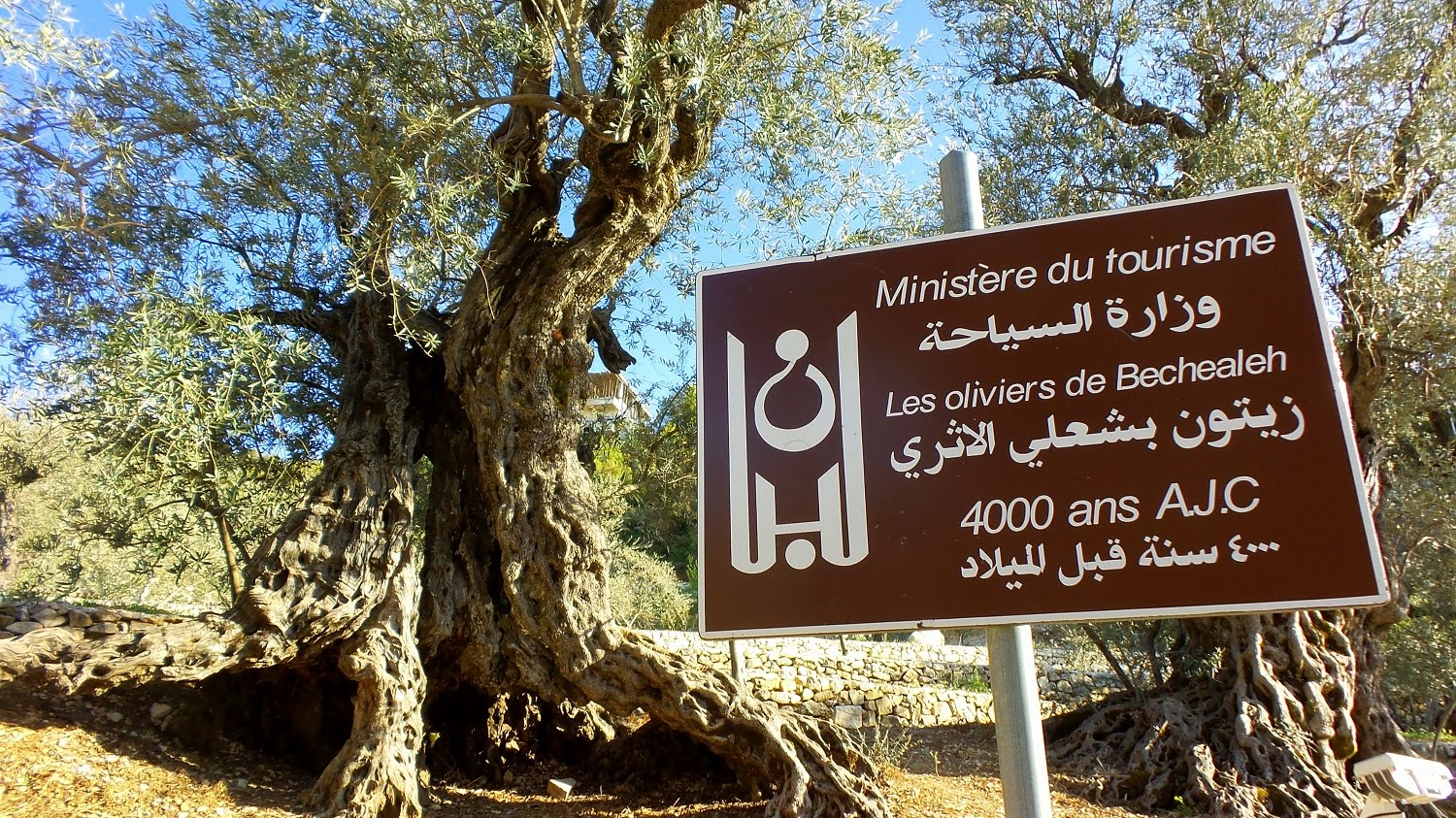 oldest olive tree