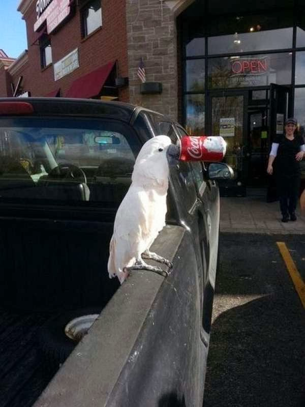 Funny animals of the week - 22 November 2013 (35 pics), cockatoo bites soft drink can