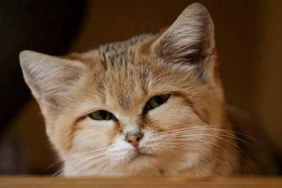Existe una raza de gatos que viven solos en el desierto