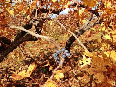 DNA sleuth hunts wine roots in Anatolia