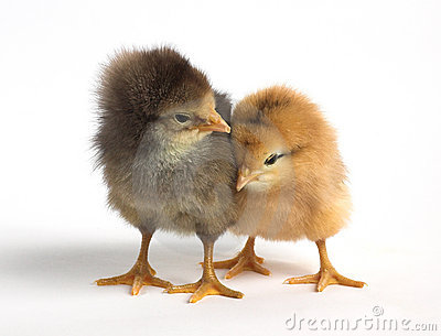 Cute chicken - photo#19