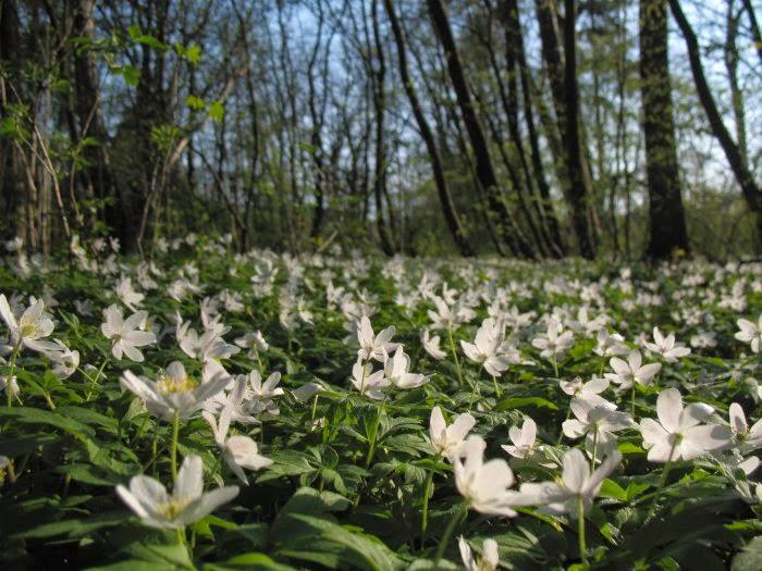 5 Roslin Ktore Znajdziesz Wiosna W Lesie Kasiadytrych Pl