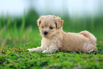 Una hermosa perrita llamada Fancy - Cute little puppy