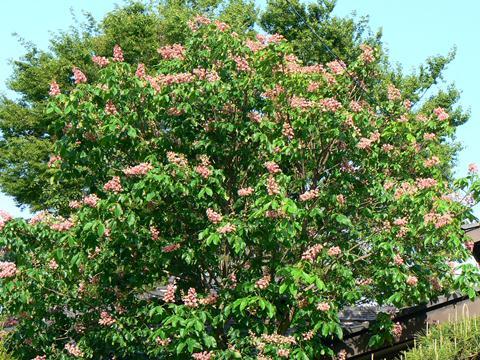 知人宅の庭にある大きな栃の木(マロニエ)ピンクの花が見頃です。この花を見て県の森東側の駐車場にあ