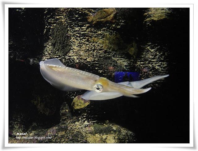 澎湖水族館-烏賊