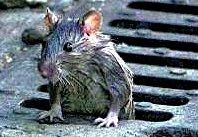 Rata saliendo de un alcantarillado