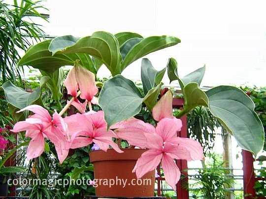 Medinilla magnifica-Rose Grape