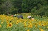 Taebaek Sunflower Festival