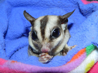 The Compulsive Ramblings Of A Philotherian: Sugar Glider ...