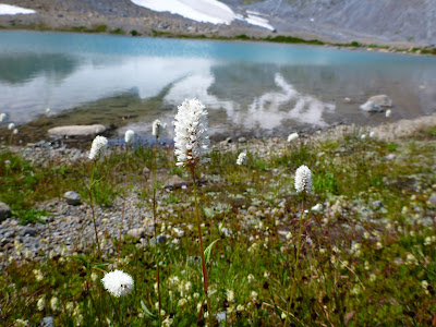 Polygonum bistortoides (American Bistort) Alongside a Small Lake of Fryingpan Glacier Melt Water