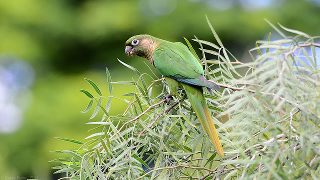 Maroon-bellied Parakeet Pyrrhura frontalis frontalis Tiriba-de-testa-vermelha Chiripepé Cabeza Verde