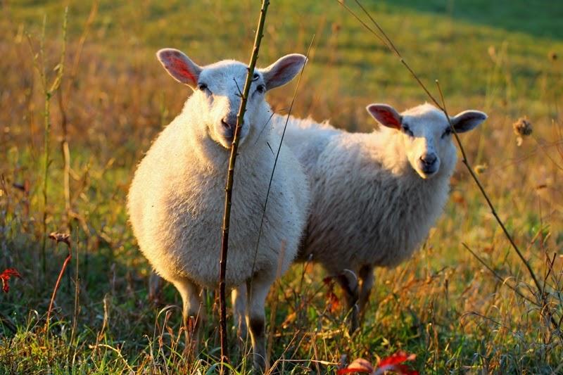 grassfed lambs at Litengård