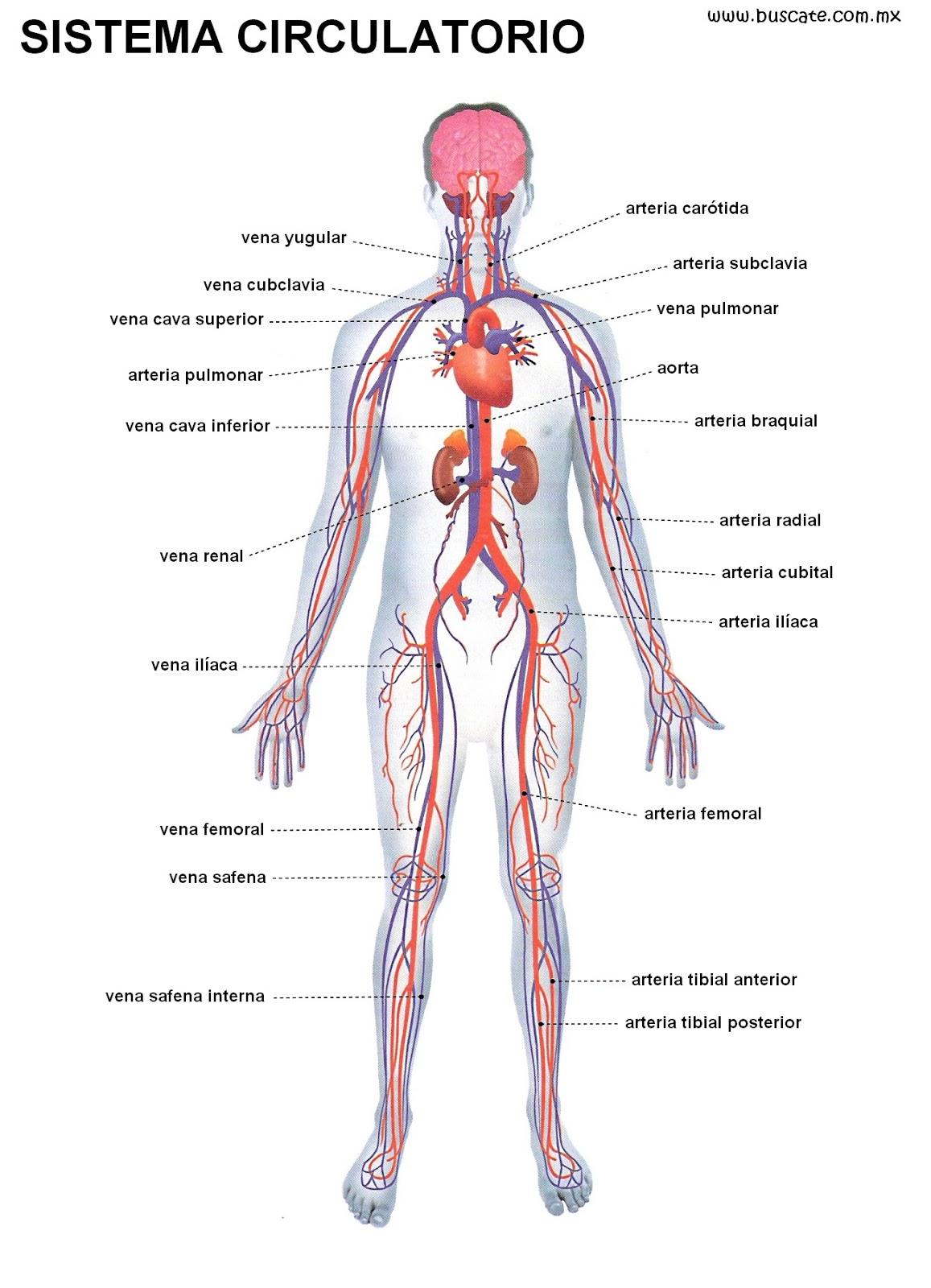El Cuerpo Humano: Sistema Circulatorio