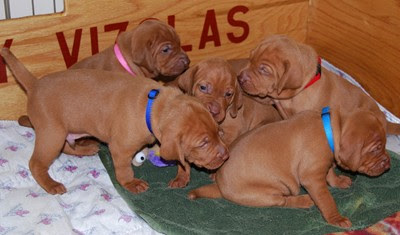 3 weeks old - our eyes are all open and we like crawling around in the whelping box
